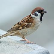 sparrow_1 - Free Online Music